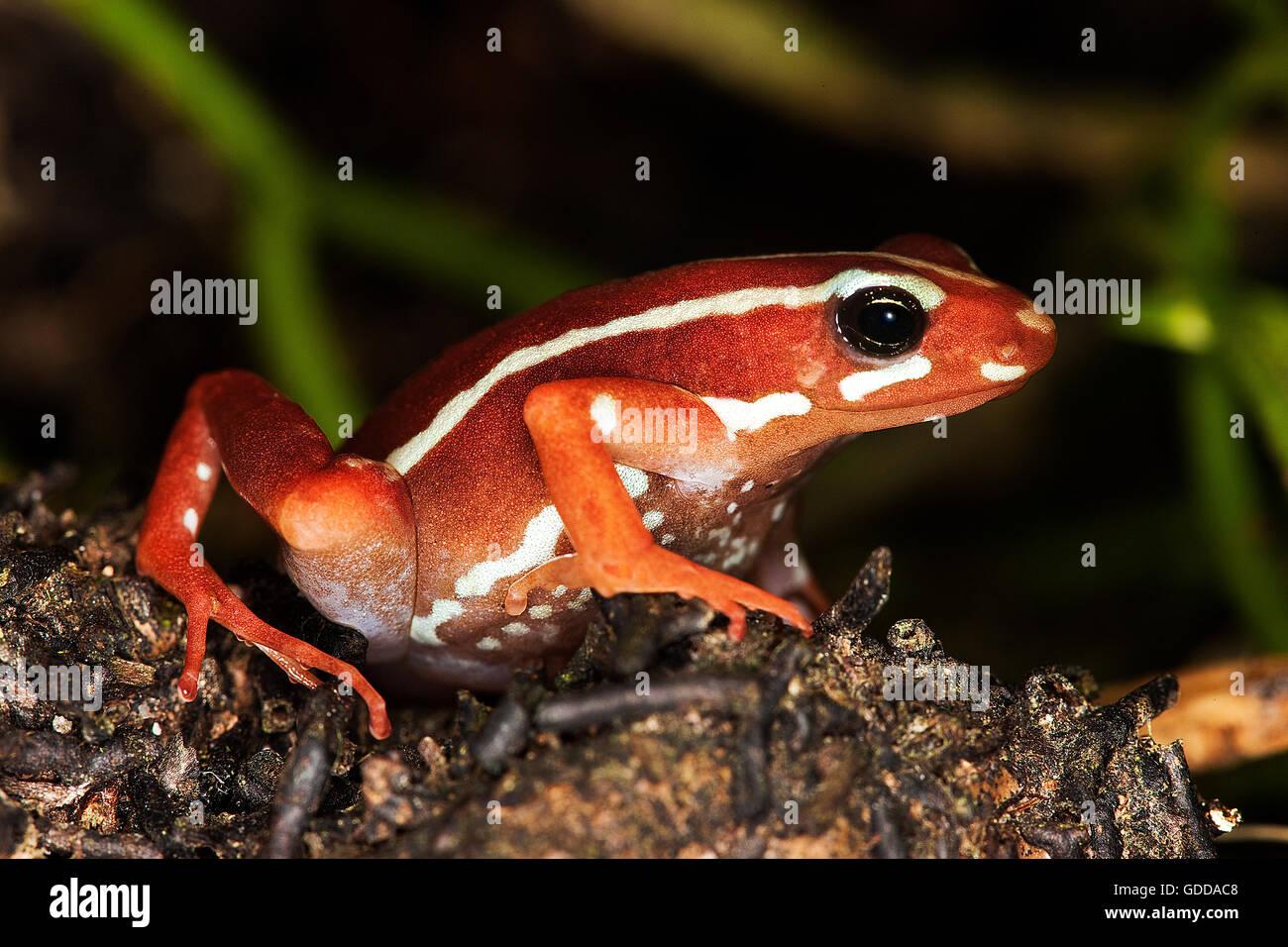 PHANTASMAL POISON FROG epipedobates tricolor, ADULT - Stock Image