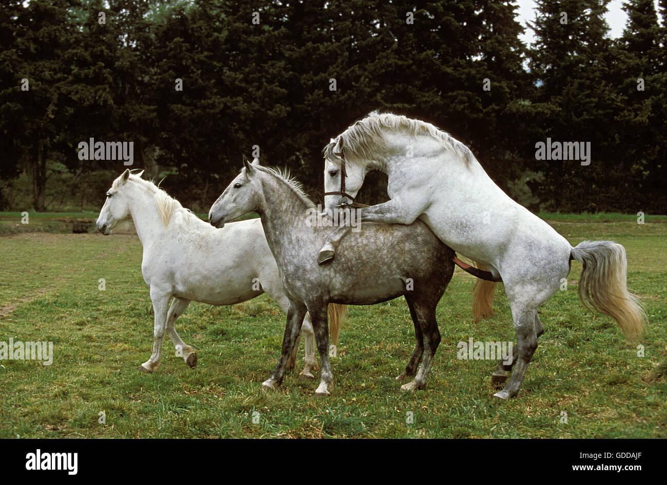 Pferde Paaren