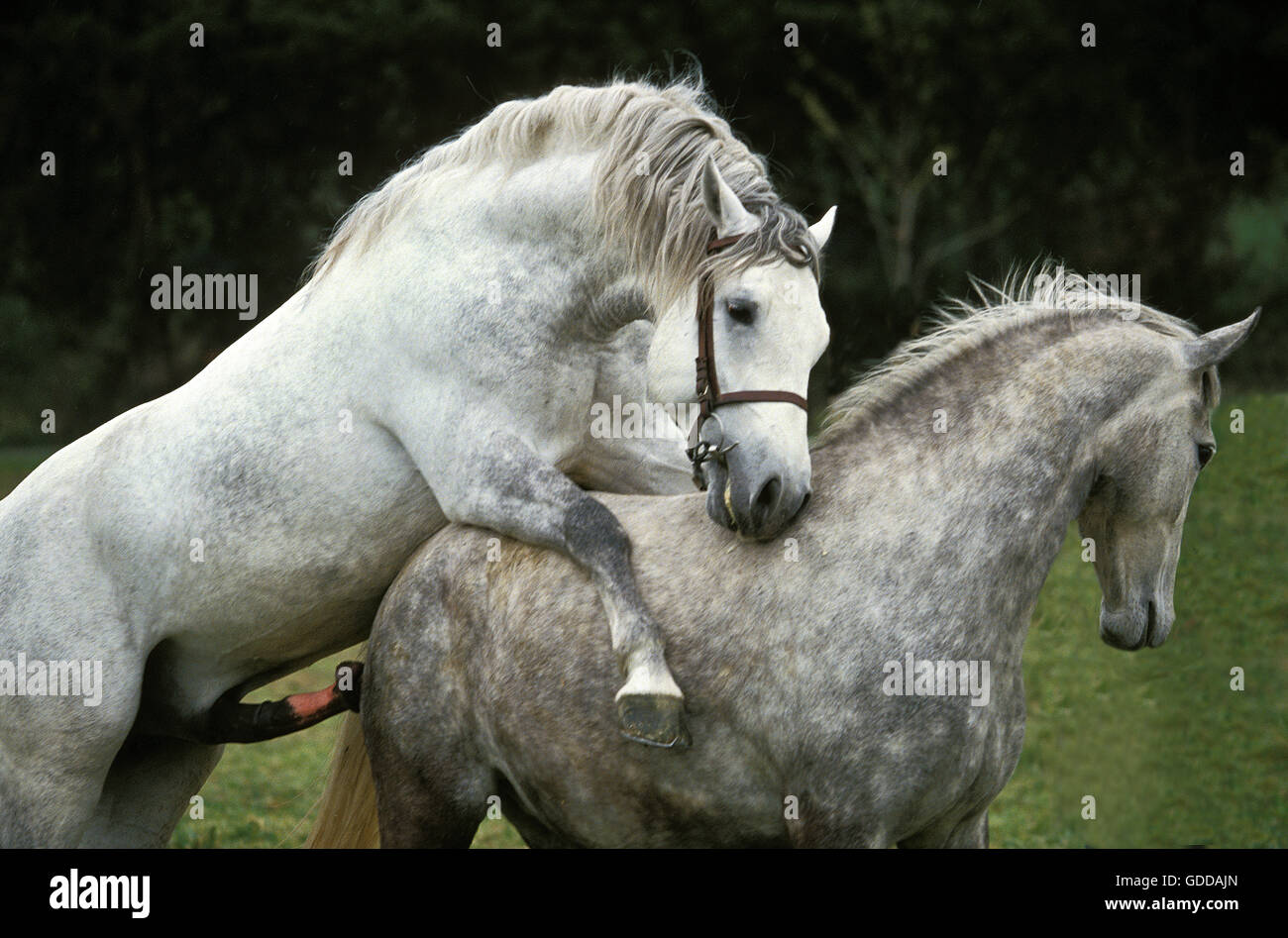 LIPIZZAN HORSE, MARE AND STALLION MATING Stock Photo ...