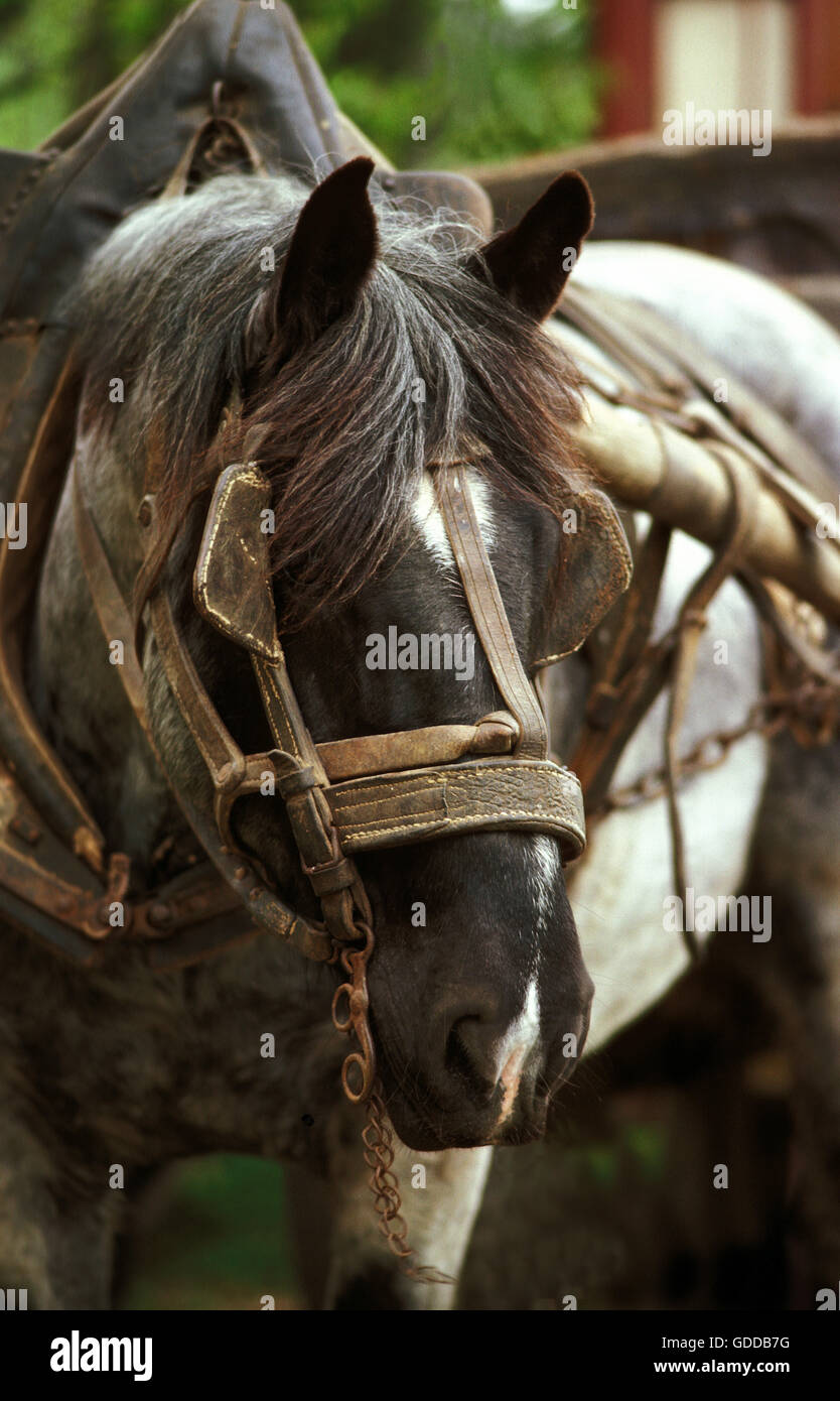 Draft Horse with Harness - Stock Image