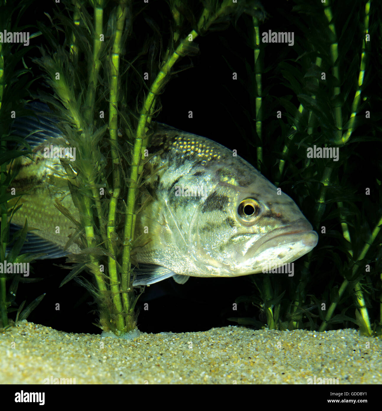 Large Mouth Bass or Black Bass,  micropterus salmoides Stock Photo