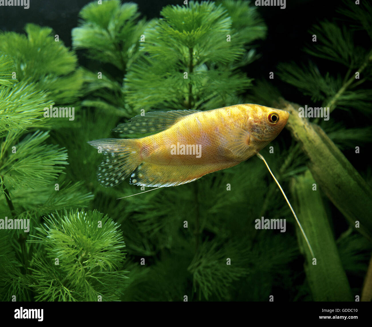 Gold Gourami, trichogaster trichopterus Stock Photo