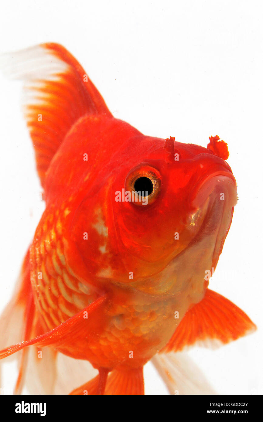 Ryukin Goldfish, carassius auratus, Adult Against White Background Stock Photo