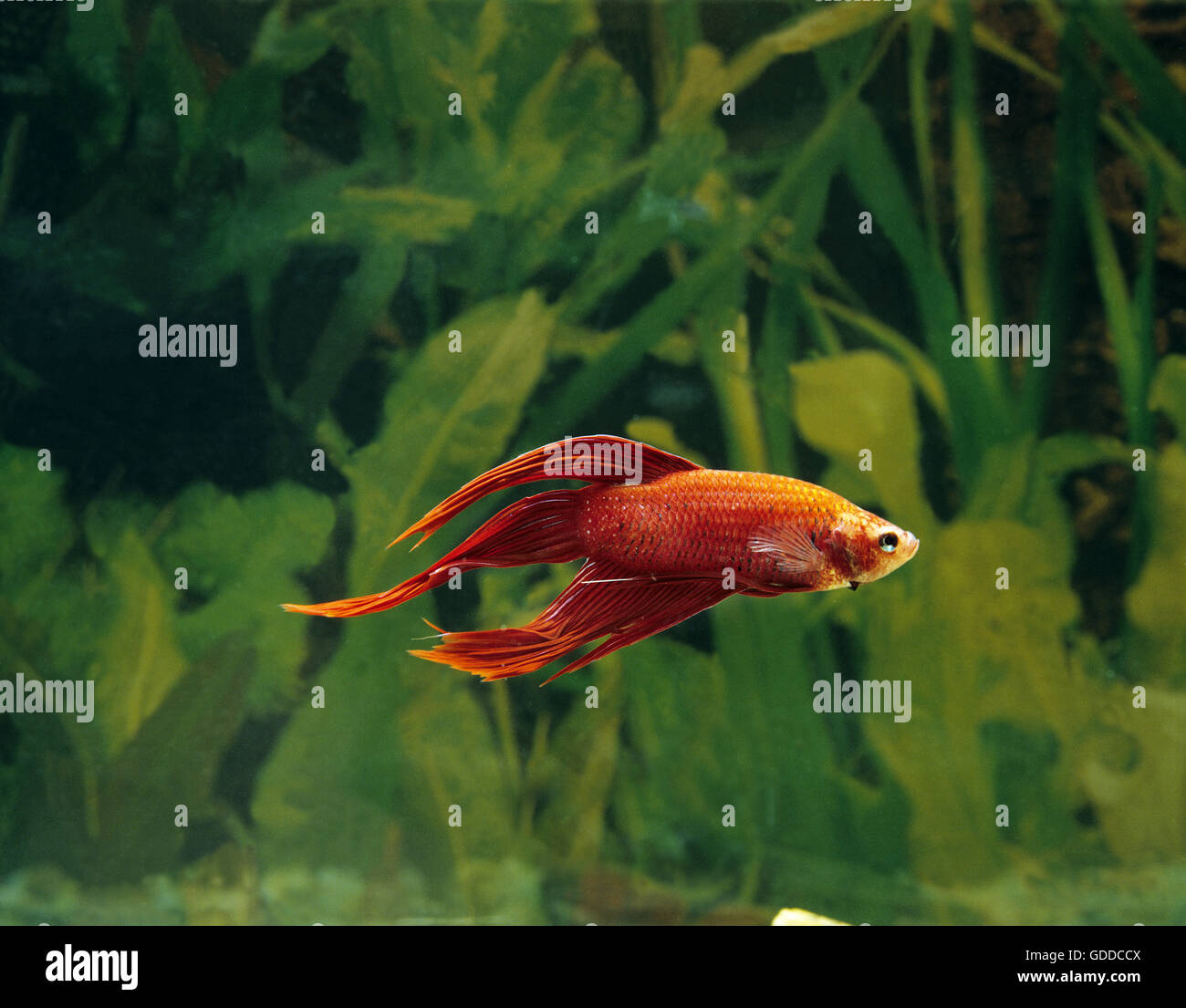 Fighting Fish, betta splendens - Stock Image