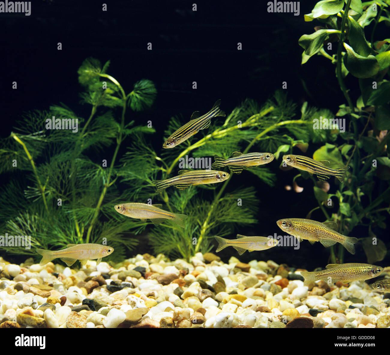 Aquarium with Pearl Danio, brachydanio albolineatus, Leopard Danio,  brachydanio frankei and Zebra Danio Fish, brachydanio Stock Photo