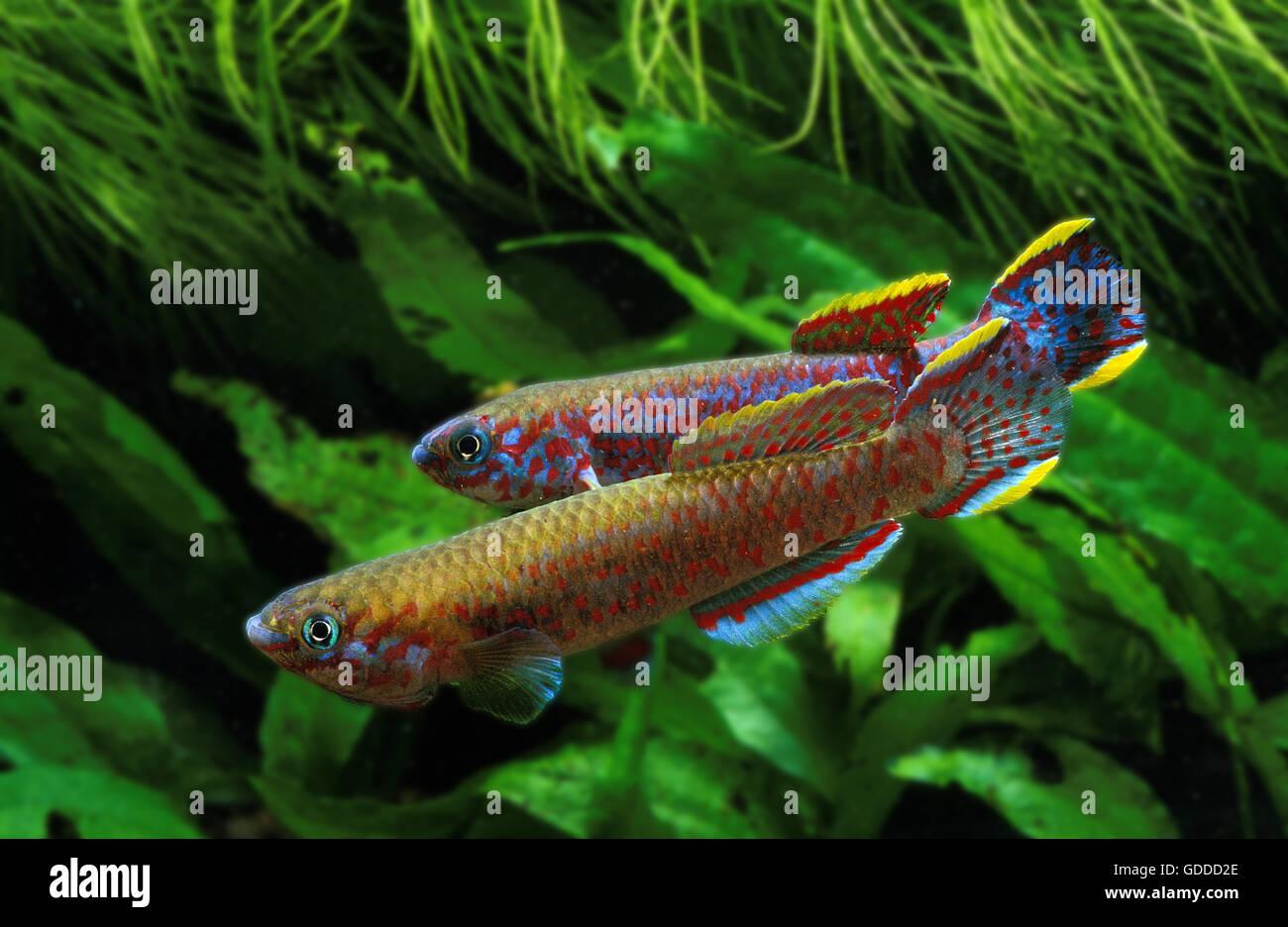 Lyretail Killifish, aphyosemion australe, Adults - Stock Image