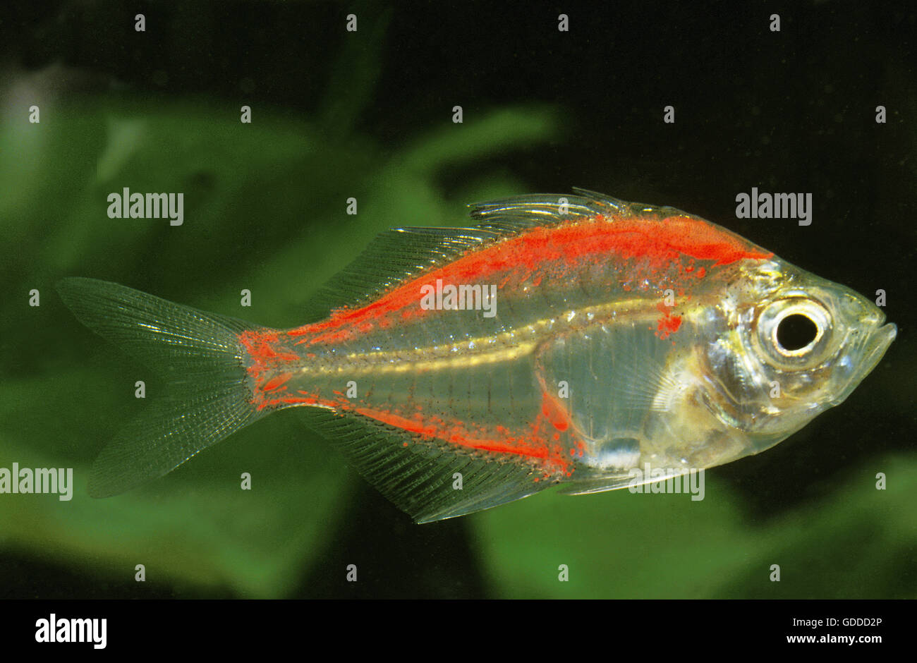 Glassfish, chanda ranga color, Adult Stock Photo: 111548382 - Alamy
