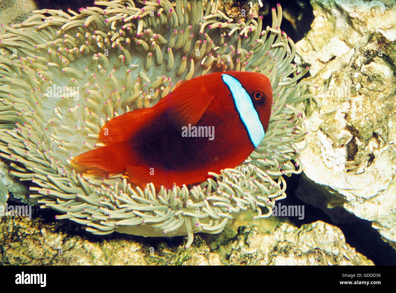Tomato Clownfish, amphiprion frenatus, Adult in Anemone Stock Photo ...