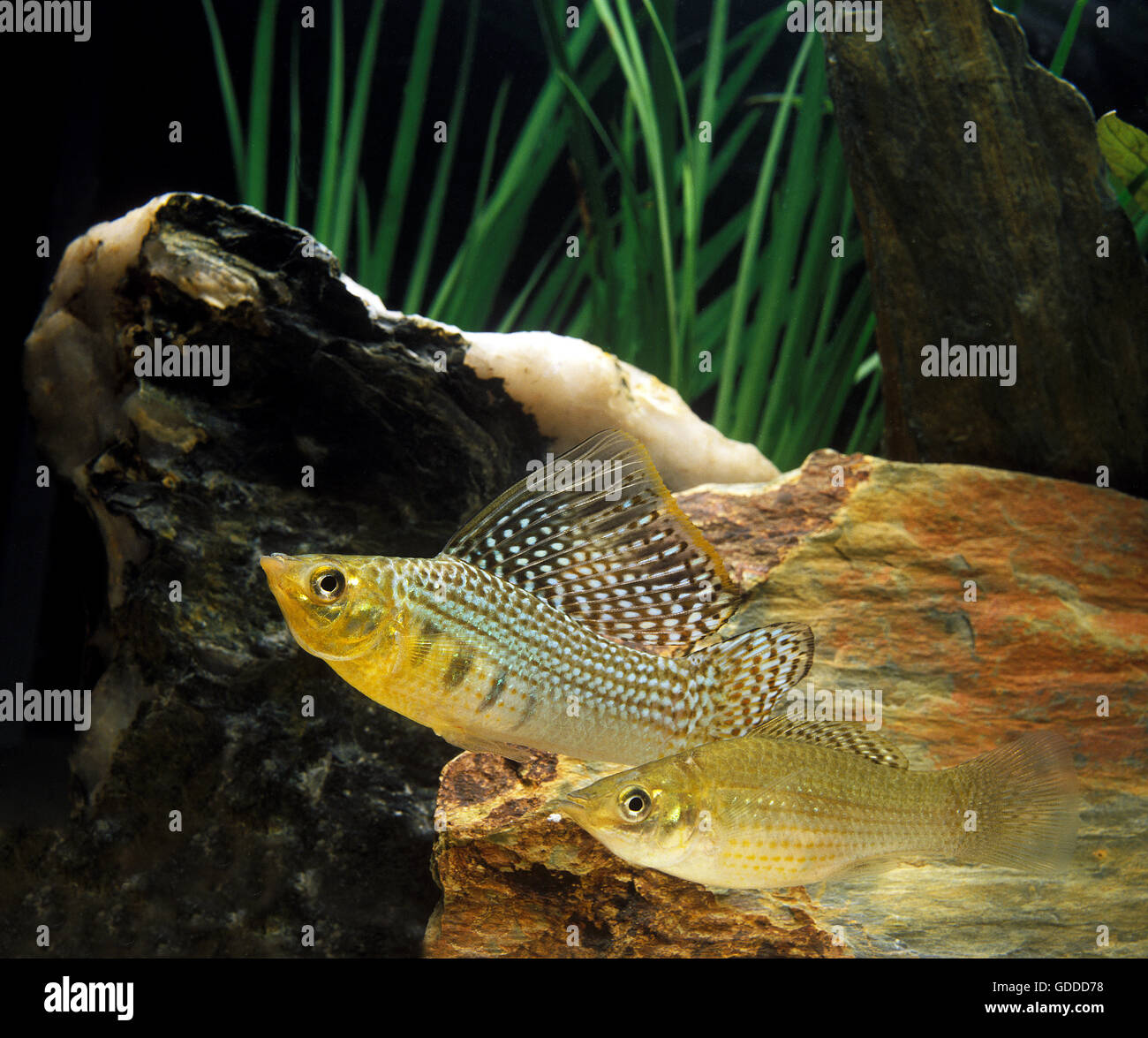 Sailfin Molly, poecilia velifera, Aquarium Fishes Stock Photo