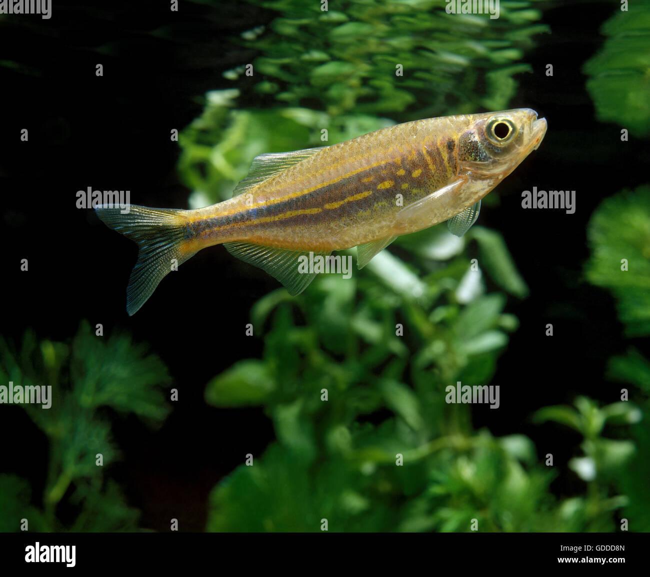 Danios Fish Stock Photos Danios Fish Stock Images Alamy