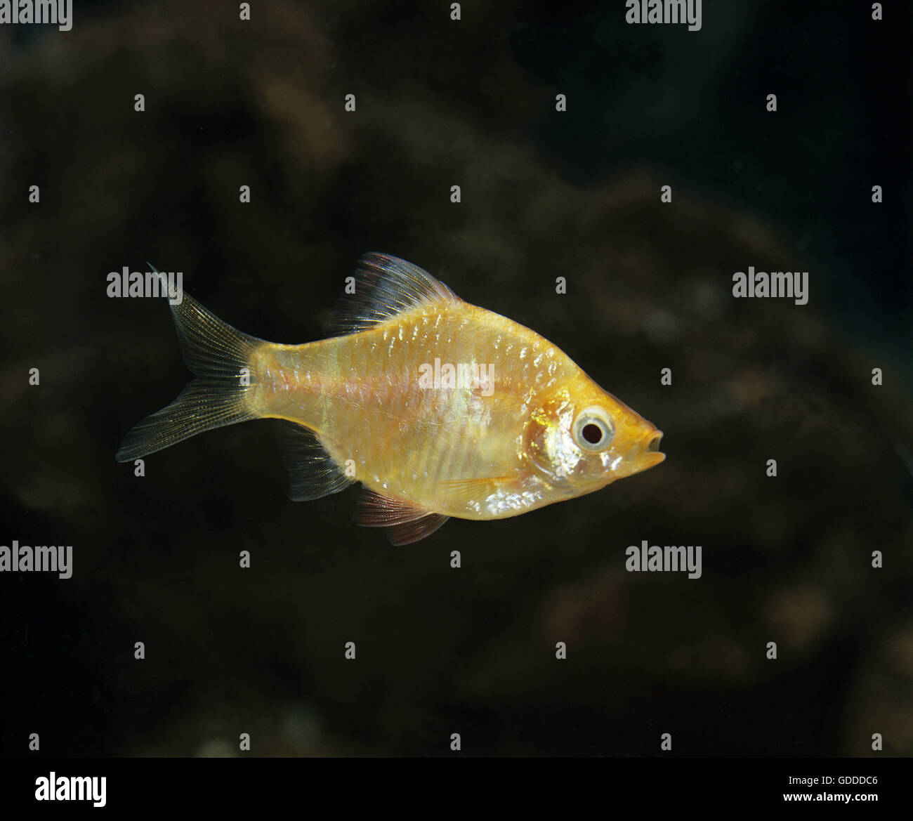 Tiger Barb, puntius tetrazona, Gold Form Stock Photo