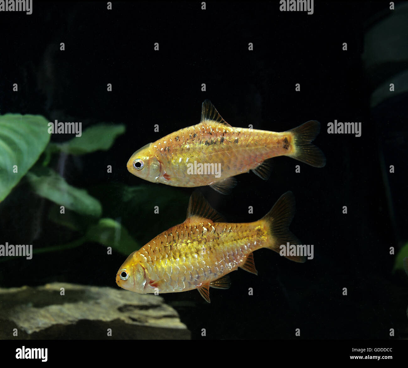 Golden Barb or Chinese Barb,  puntius semifasciolatus Stock Photo