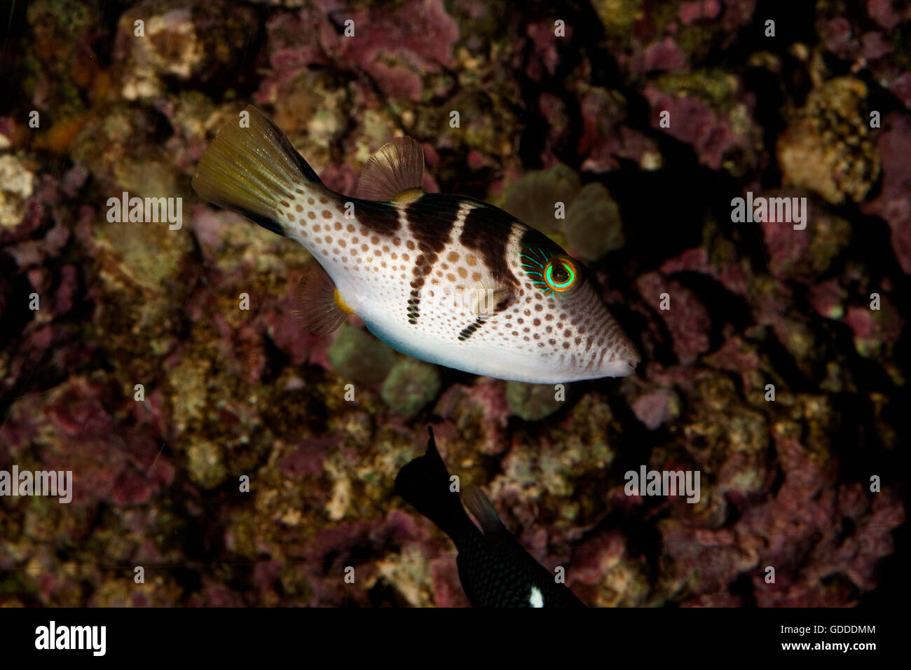 Black Saddled Puffer or Valentini's Puffer,  canthigaster valentini, Adult Stock Photo