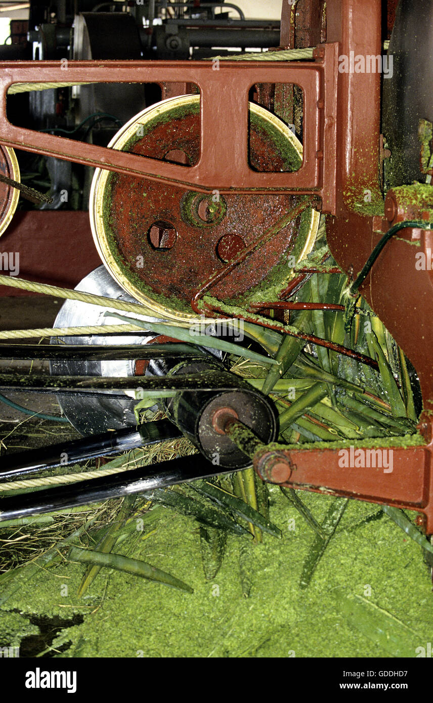 Rope Factory, Sisal Plant, agave sisalana, Fort Dauphin in Madagascar - Stock Image