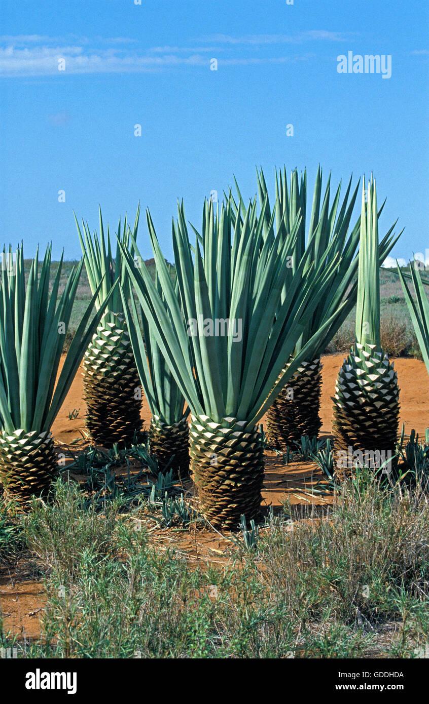 Sisal Plant, agave sisalana, Plantation in Madagascar near Fort Dauphin