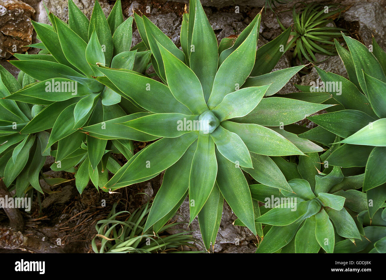 SWAN'S NECK AGAVE agave attenuata, MEXICO - Stock Image