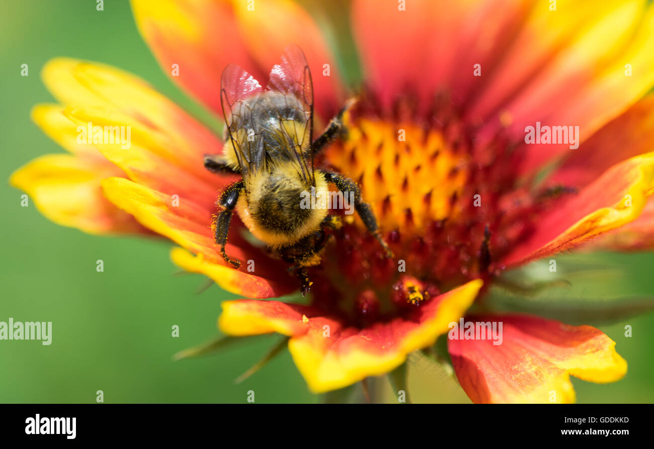 Honey Bee Pollinating a Flower - Stock Image