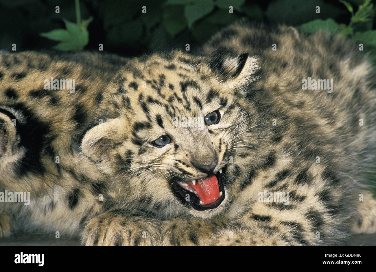 Snow Leopard or Ounce, uncia uncia, Cub with Open Mouth - Stock Image