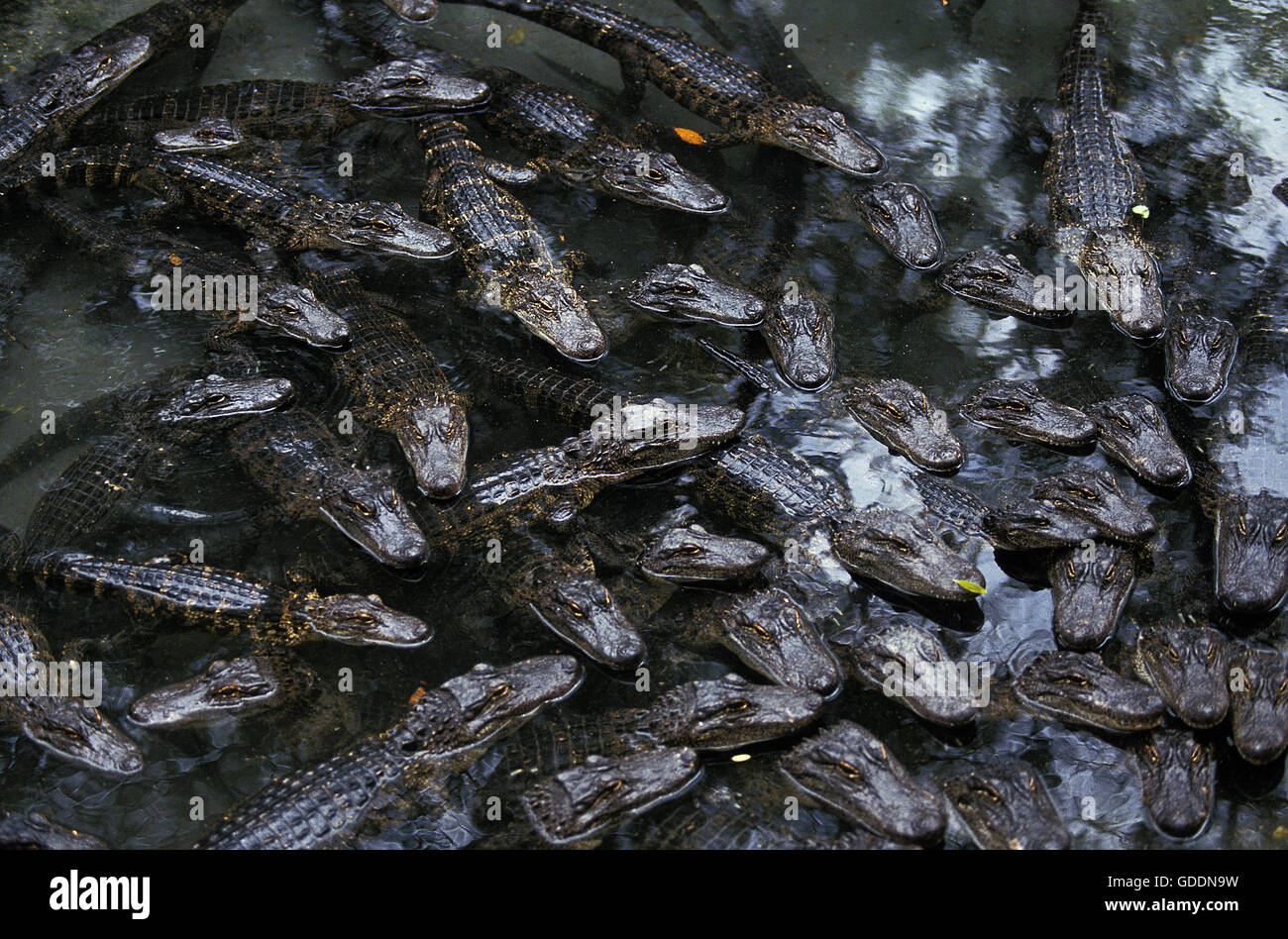 American Alligator, alligator mississipiensis, Head of Youngs at Surface - Stock Image