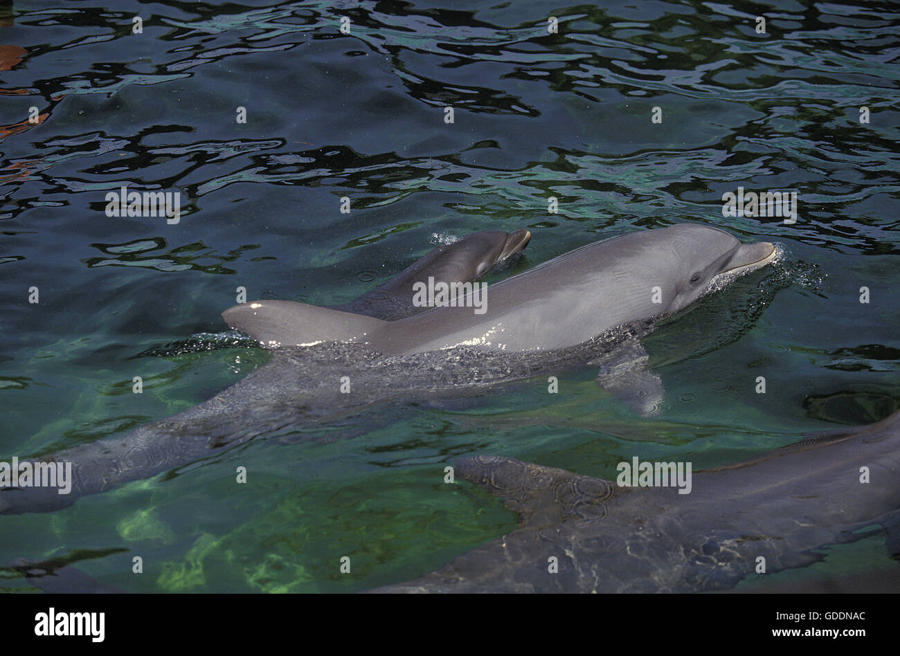 Bottlenose Dolphin, tursiops truncatus, Mother and Calf - Stock Image