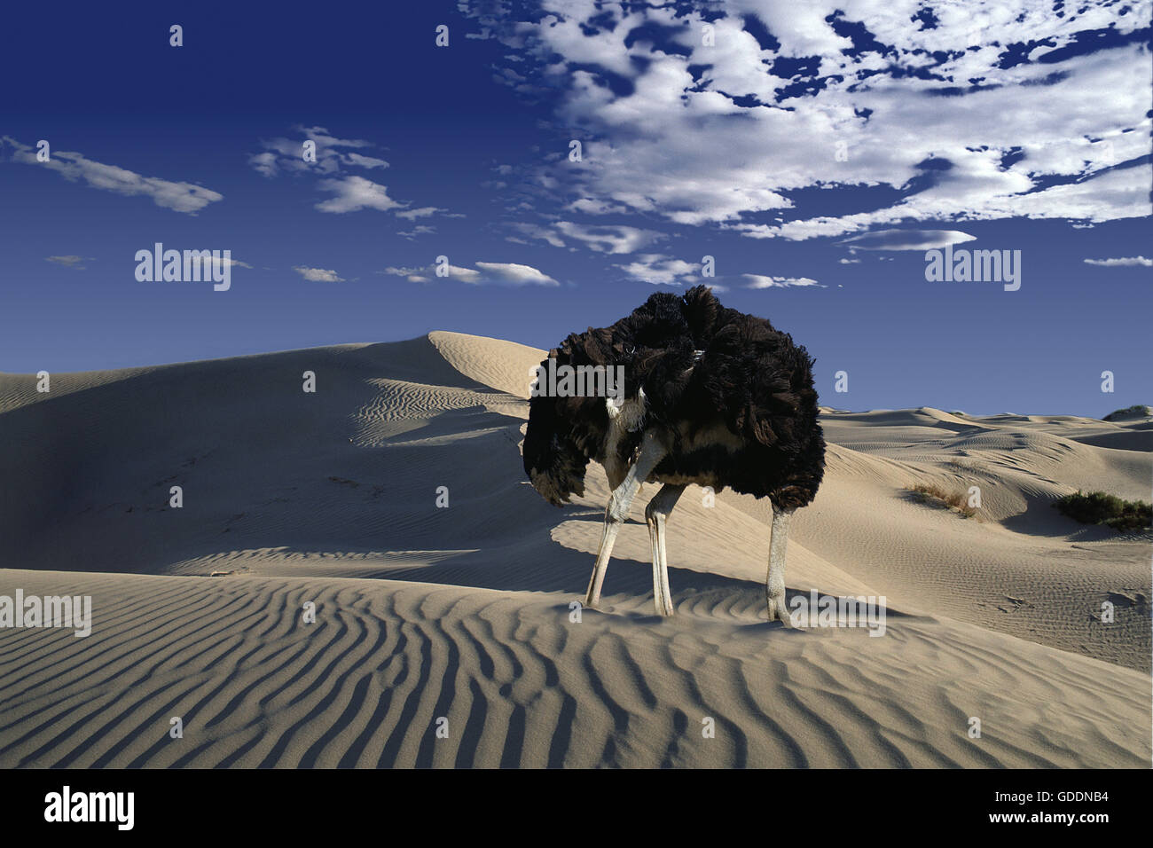 Ostrich, struthio camelus, Male head in sand, Namibie, Composite image - Stock Image