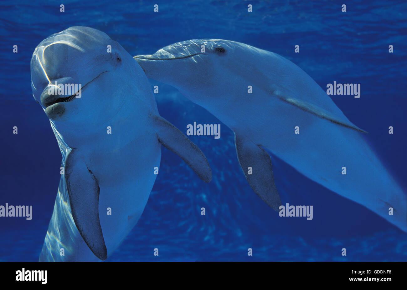 Bottlenose Dolphin, tursiops truncatus - Stock Image