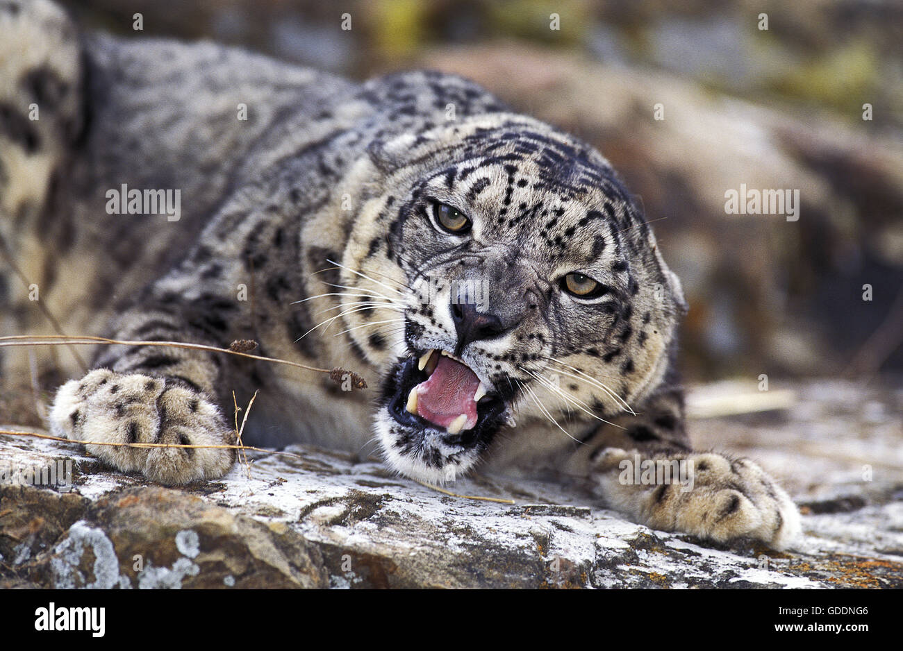 Snow Leopard or Ounce, uncia uncia, Adult with Open Mouth - Stock Image