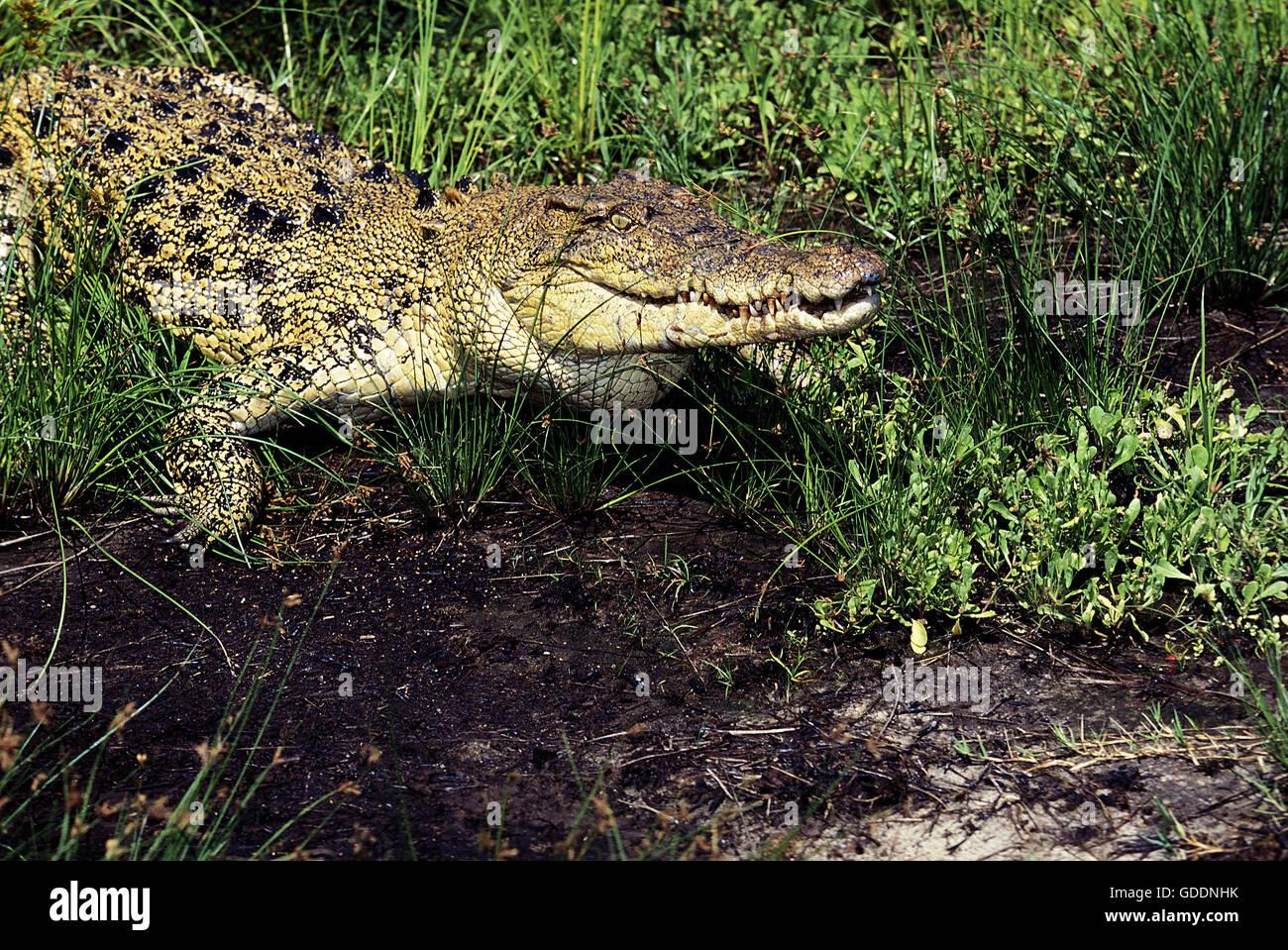 Australian Saltwater Crocodile or Estuarine Crocodile, crocodylus porosus, Australia - Stock Image