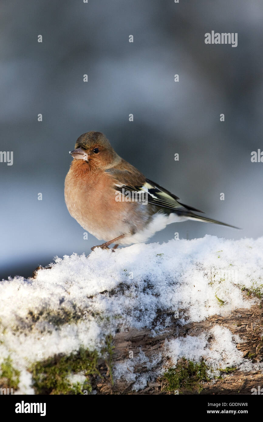 Common Chaffinch, fringilla coelebs, Male in Snow, Normandy - Stock Image