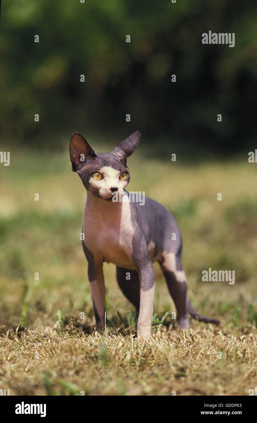 Sphynx Cat, a Domestic Cat Breed without Hair Stock Photo