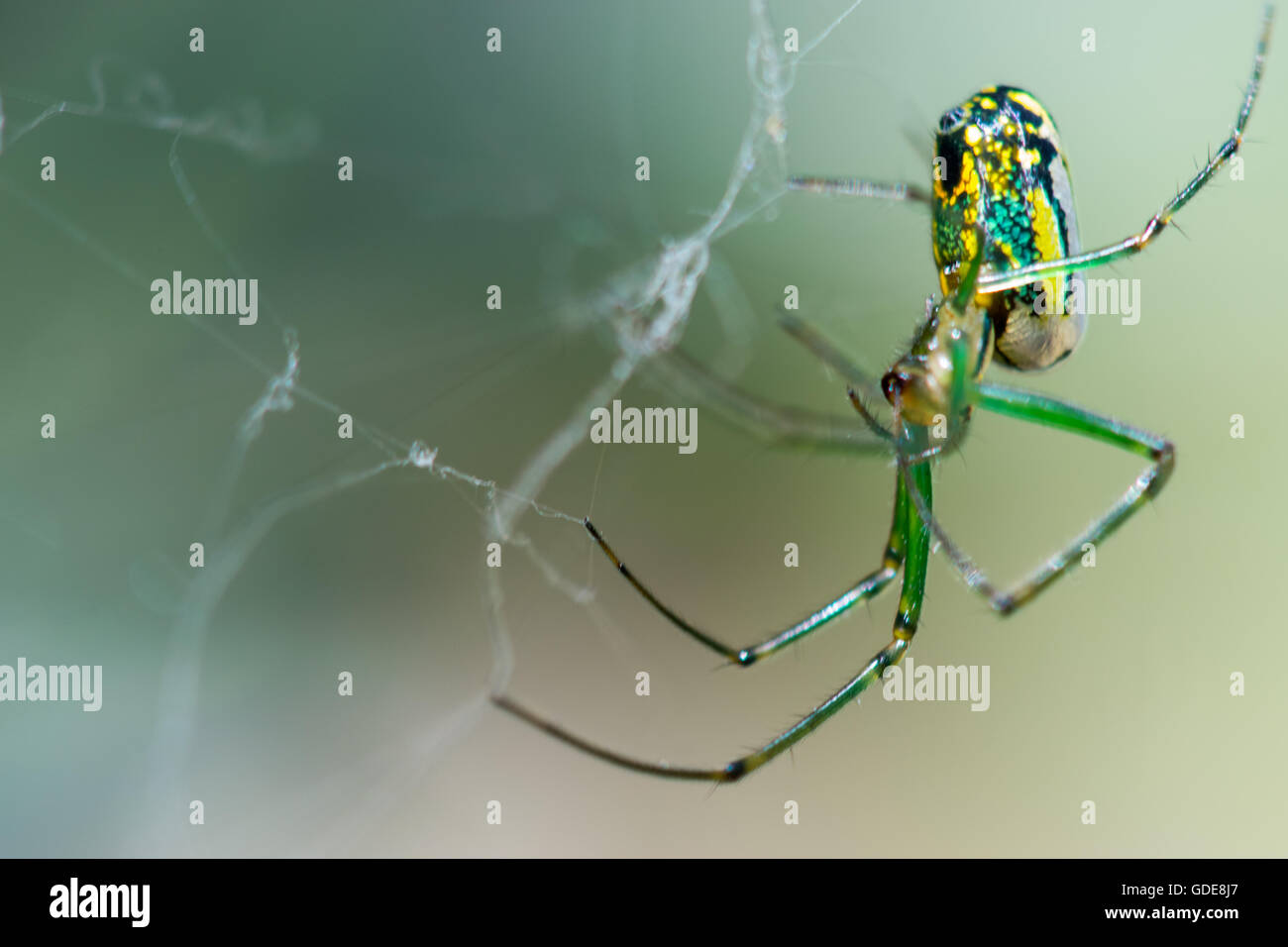 Orchard Orb Weaver Sitting On Their Web - Stock Image