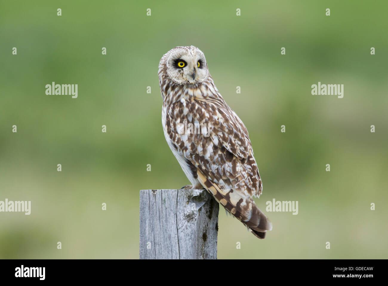 Short-eared Owl - sitting on fencepost Asio flammeus Flo Nature Reserve Iceland BI028863 - Stock Image