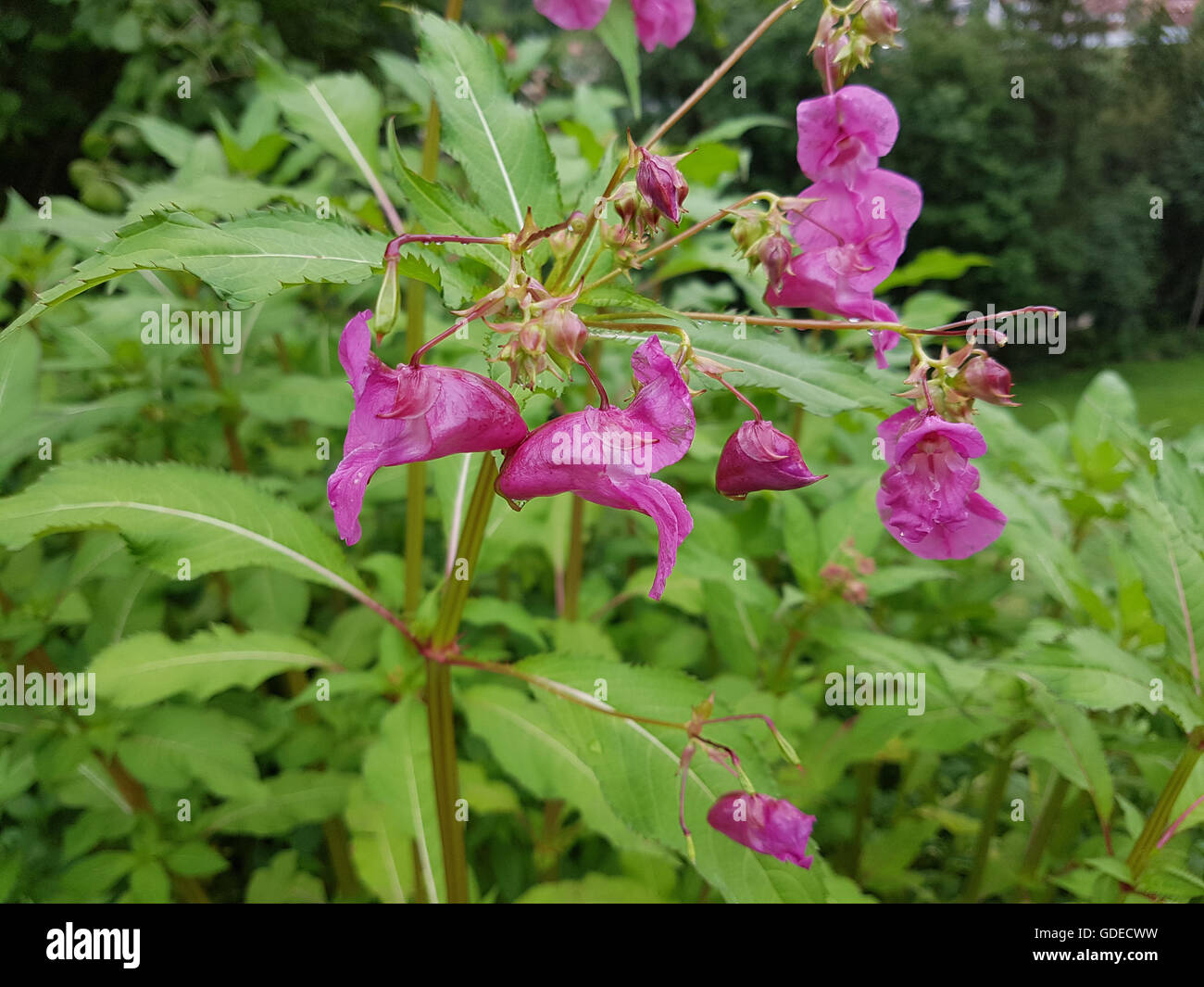 Druesiges Springkraut; Impatiens, glandulifera Stock Photo