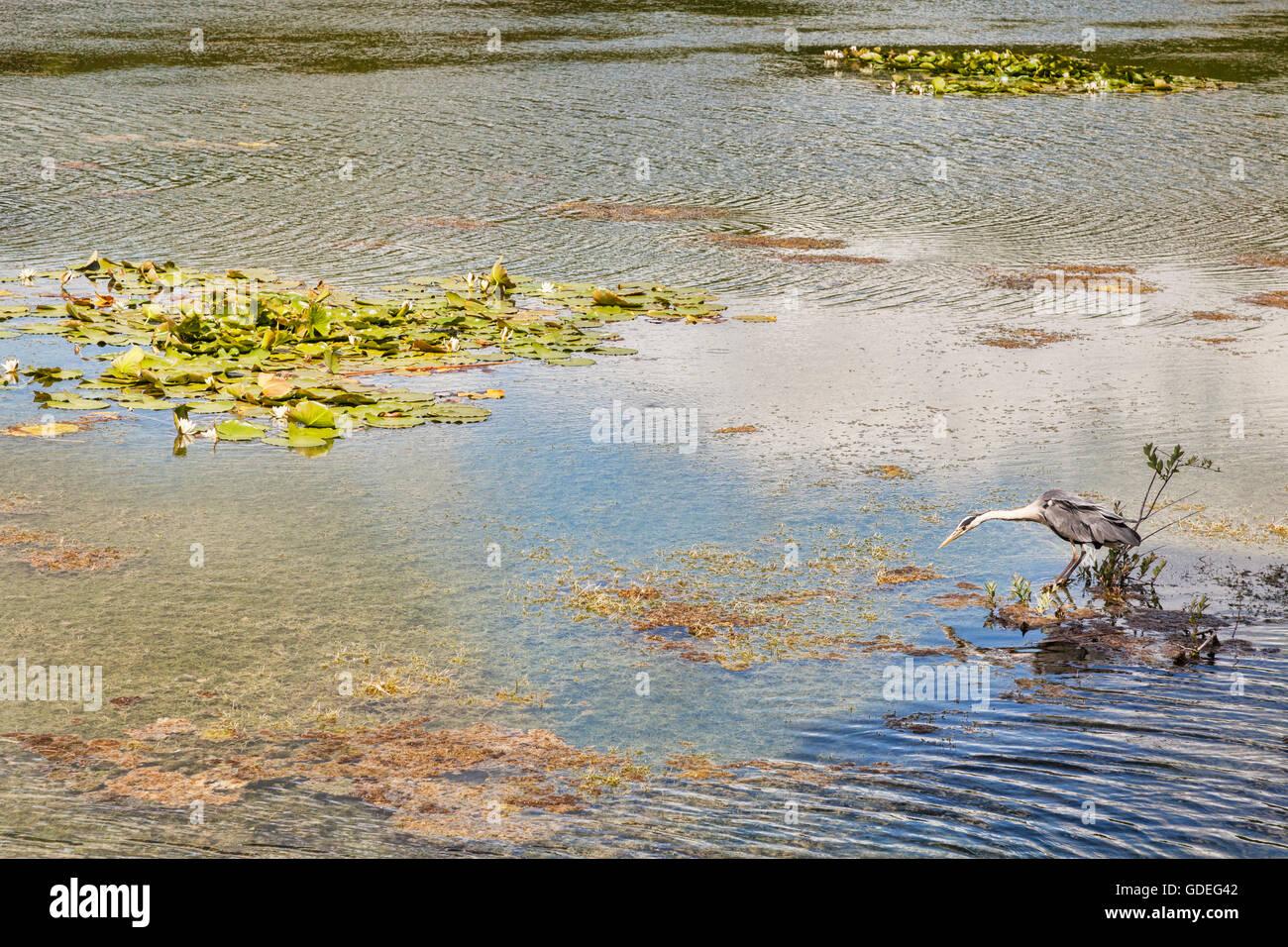 Bosherston Lily Ponds, Stackpole Estate, Pembrokeshire Coast National Park, Wales, UK - Stock Image