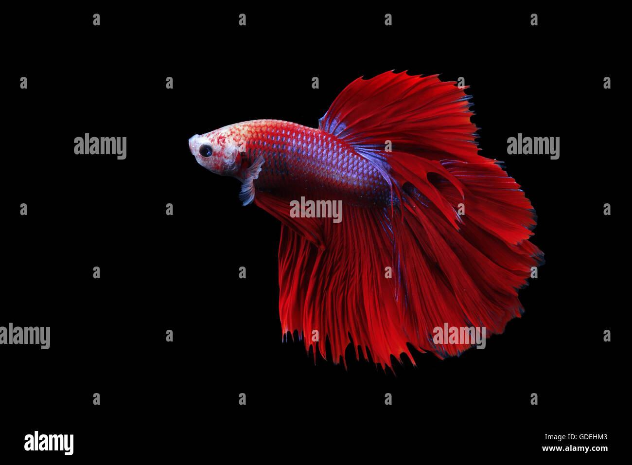Siamese fighting fish (Betta splendens), Indonesia - Stock Image