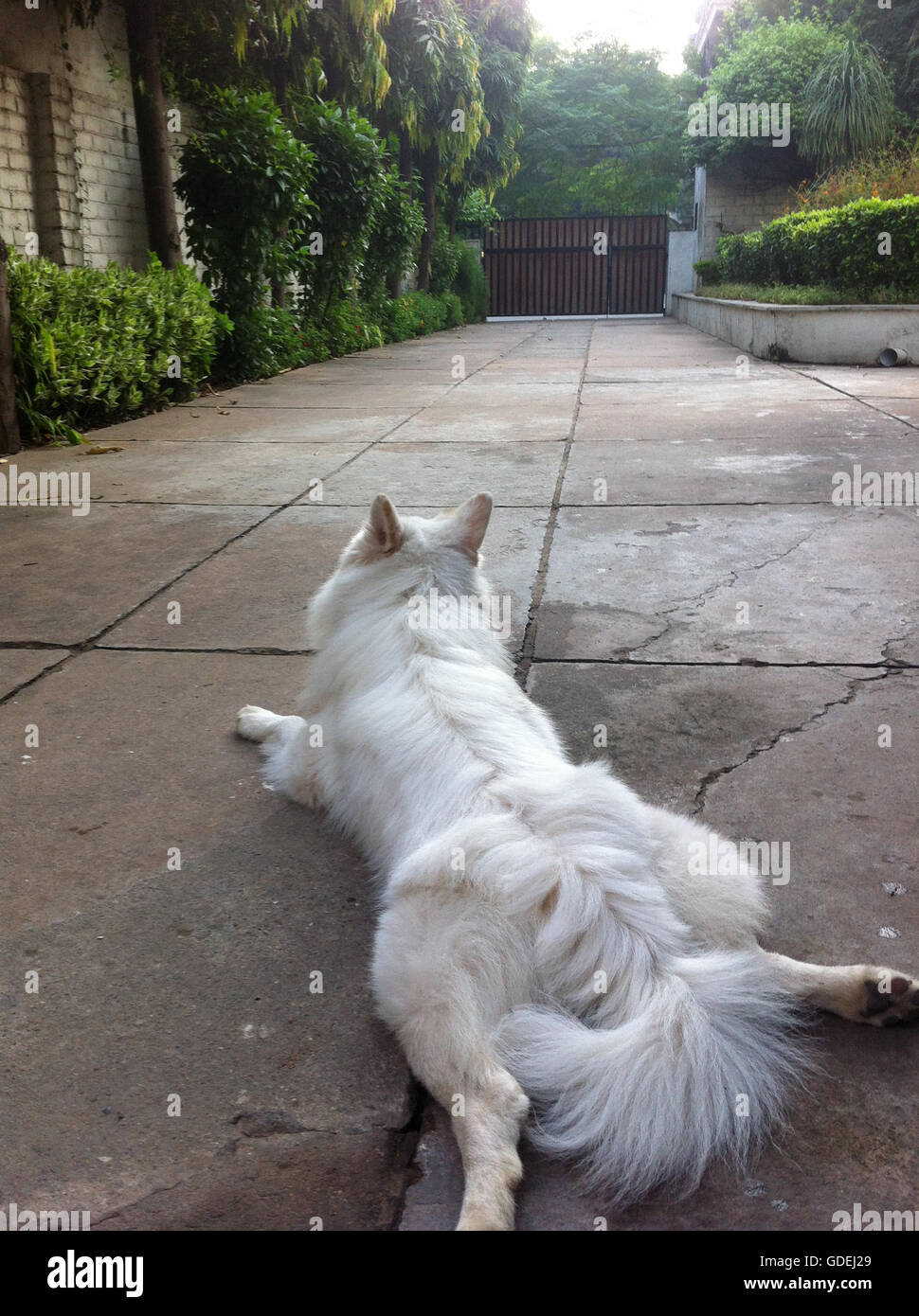 Dog lying in driveway outside house - Stock Image