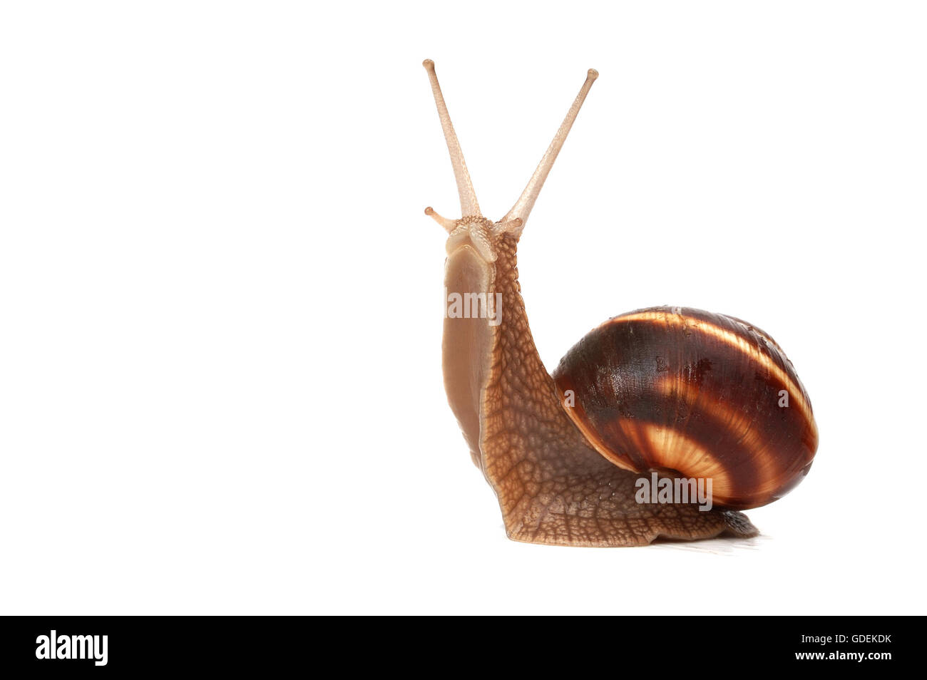 funny snail ,isolated on white background - Stock Image