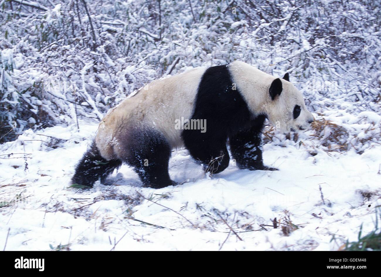 Giant Panda, ailuropoda melanoleuca, Adult on Snow, Wolong Reserve in China Stock Photo