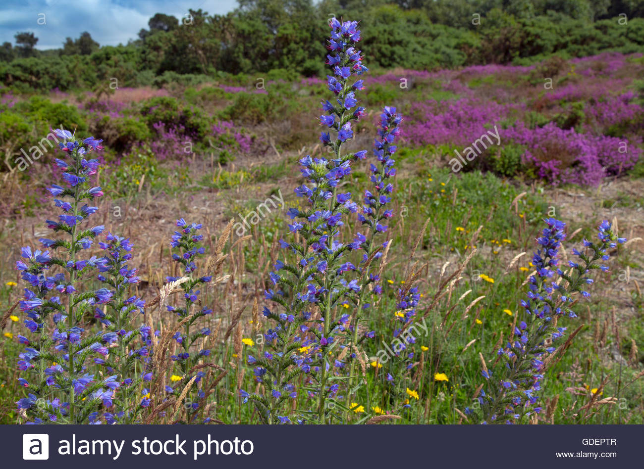 Bell heather and Vipers Bugloss in flower on Kelling Heath in North Norfolk Stock Photo