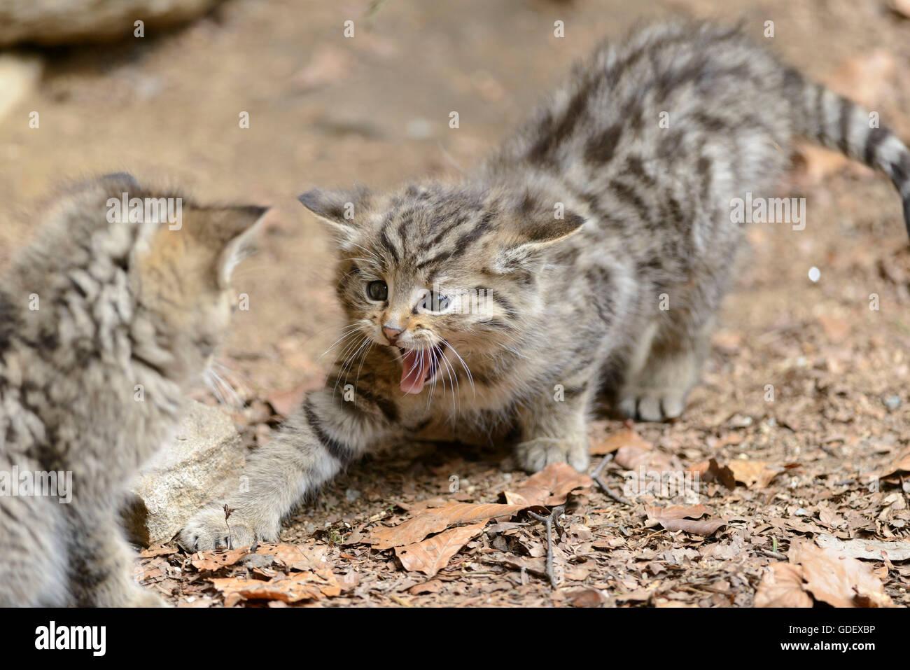 Common Wild Cats, kittens, National Park Bavarian Forest, Bavaria, Germany, Felis silvestris - Stock Image