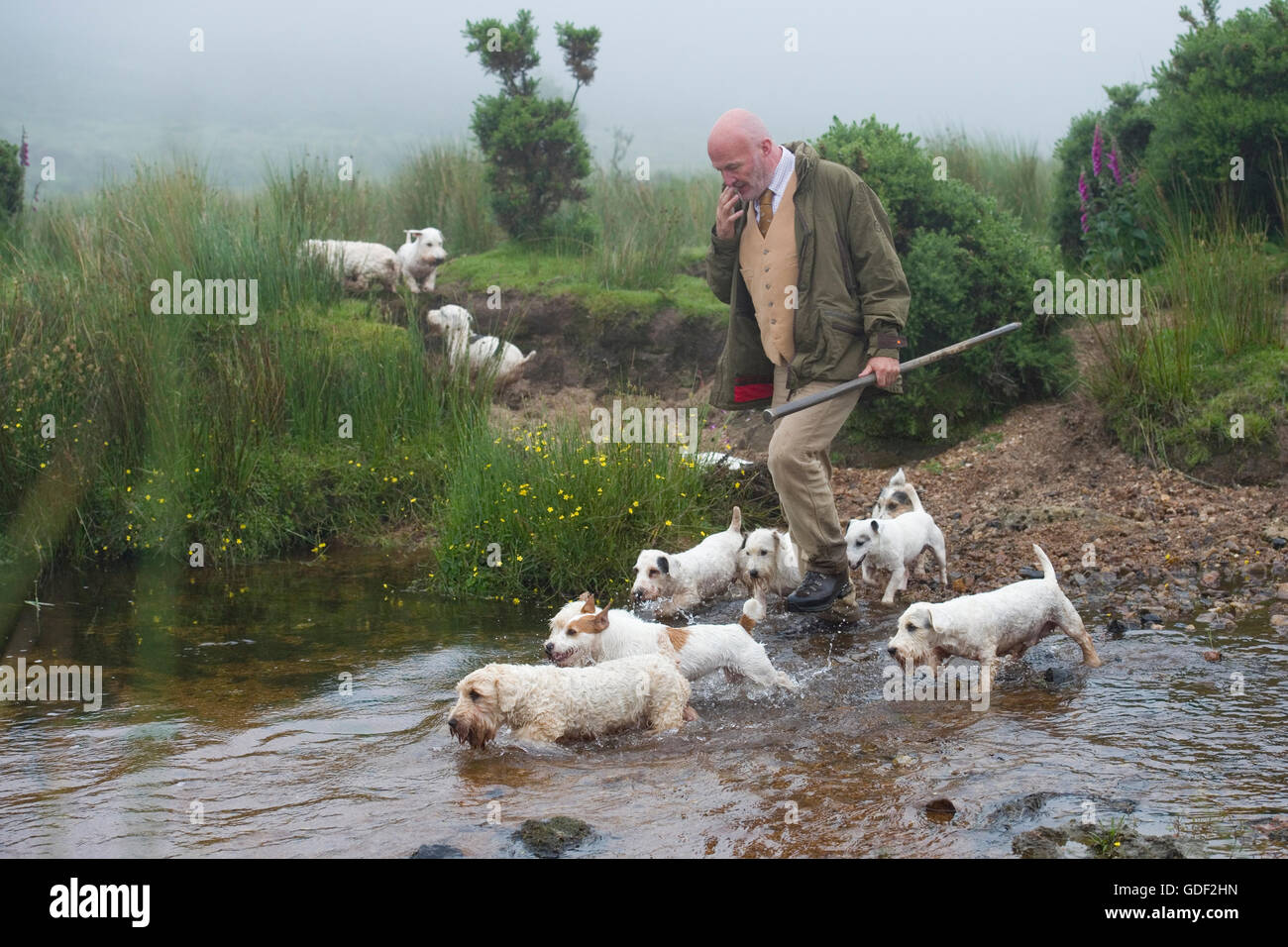 man hunting with sealyhams - Stock Image