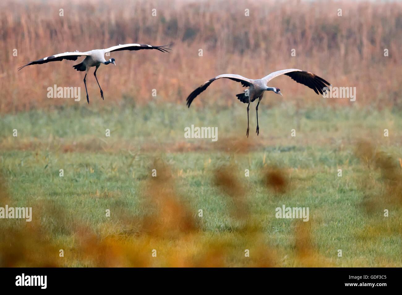 common crane, (Grus grus), wildlife, Nationalpark Vorpommersche Boddenlandschaft, Mecklenburg-Vorpommern Germany Stock Photo