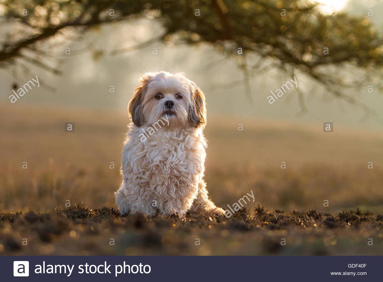 Mixed Breed Dog Male Dog Maltese X Shih Tzu Stock Photo 111585167