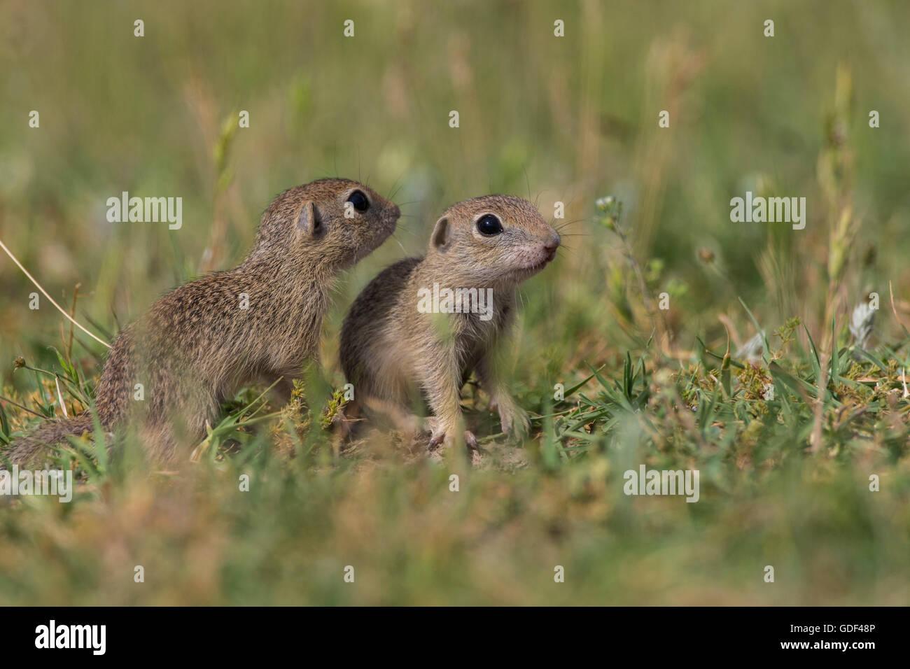 European souslik, Bulgary/ (Spermophilus citellus) Stock Photo