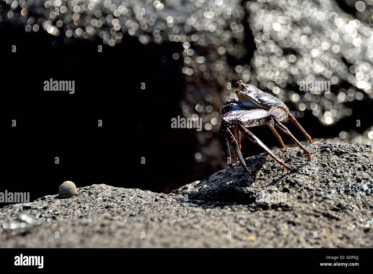An Ascension Island Crab (Grapsus adscensionis) on a rock on a beach on Ascension Island Stock Photo
