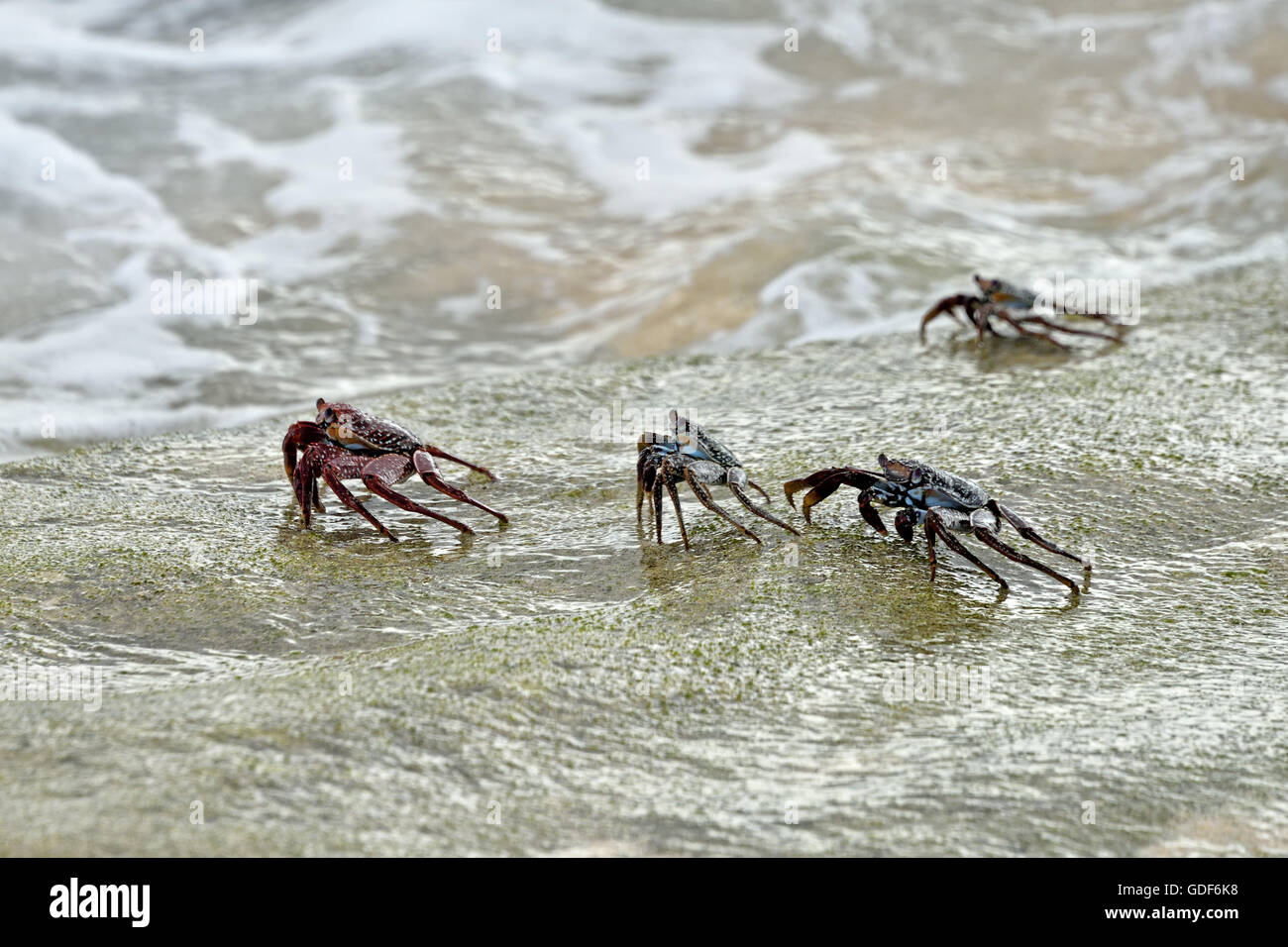 A group of Ascension Island Crabs (Grapsus adscensionis) on a rock on a beach on Ascension Island Stock Photo