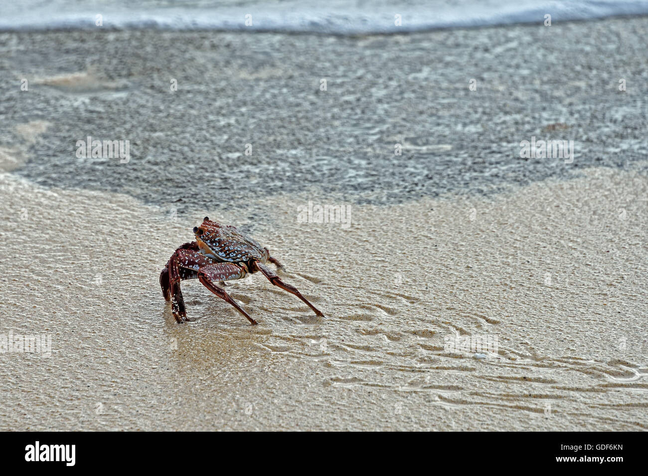 An Ascension Island Crab (Grapsus adscensionis) on a beach on Ascension Island Stock Photo