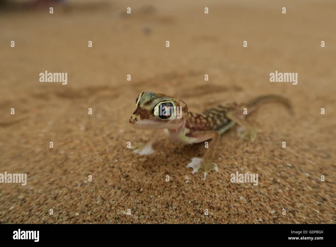 Namib Gecko, web-footed gecko or Palmato-Gecko (Pachydactylus rangei), Namib Desert in Swakopmund, Namibia Stock Photo