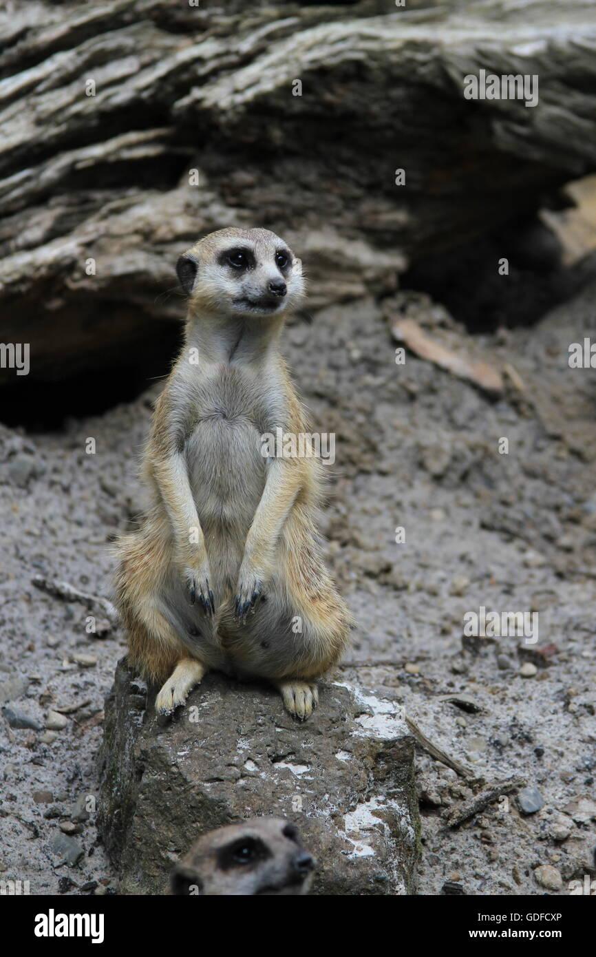 Meerkat Sitting and Looking - Stock Image