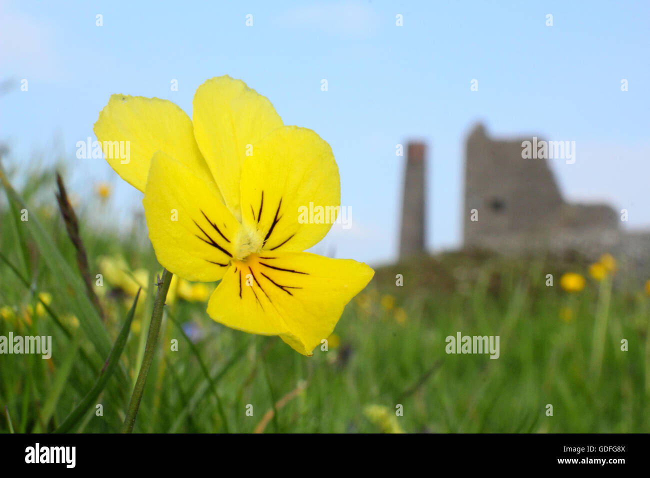 Wild mountain pansies (viola lutea) flower on the spoils of Magpie Mine, Sheldon; a disused lead mine, Peak District, - Stock Image